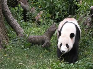 Postal: Un bonito panda