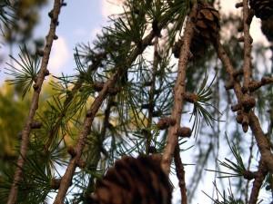 Postal: Ramas de pino