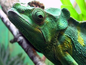 Un gran camaleón