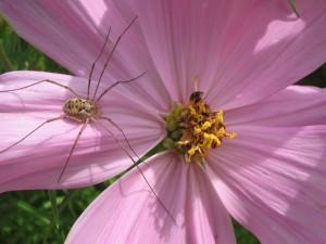 Araña en una flor rosa