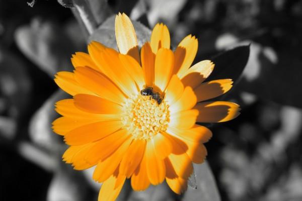Flor naranja y una abeja