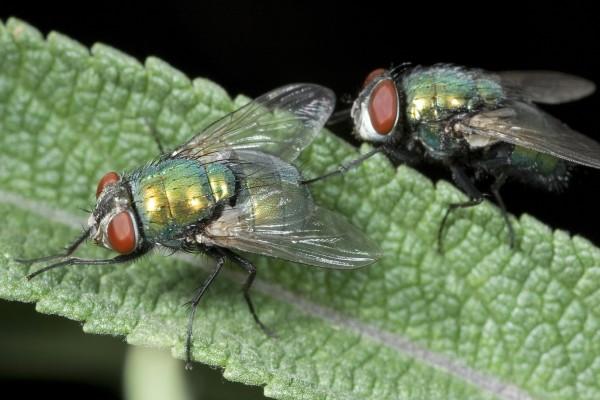Dos moscas sobre una hoja verde