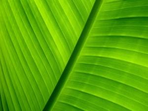 Gran hoja verde