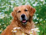 Perro entre margaritas