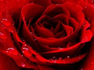 Rosa roja con gotas de rocío