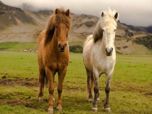 Postal: Dos caballos en una granja de Islandia