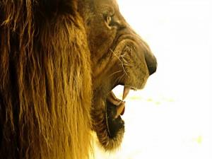 Gran cabeza de león