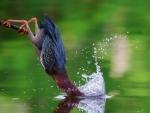 Garza americana buscando su comida en el agua