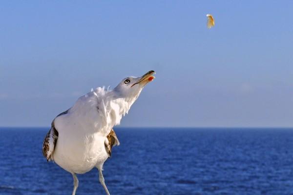 Gaviota en el mar mirando su comida