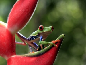 Una ranita sobre una flor roja mirando con atención