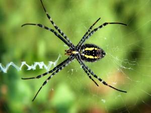 Postal: Araña negra y amarilla