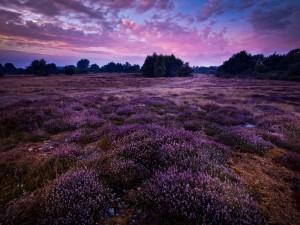 Campo de flores lilas