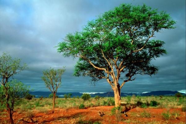 Buitres bajo el árbol