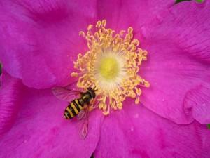 Abeja brillante en una flor rosa