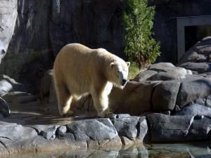 Postal: Oso polar fuera de su hábitat