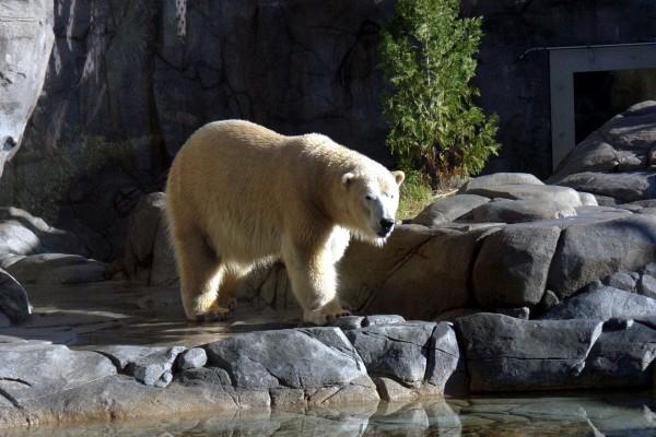 Oso polar fuera de su hábitat