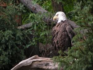 Águila entre la vegetación