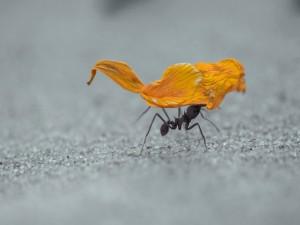 Postal: Hormiga cargando un pétalo de flor