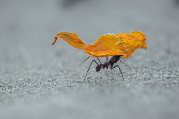 Hormiga cargando un pétalo de flor