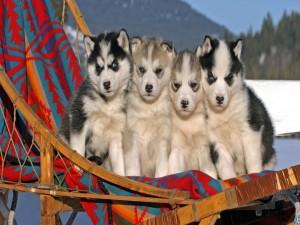 Postal: Cuatro cachorros