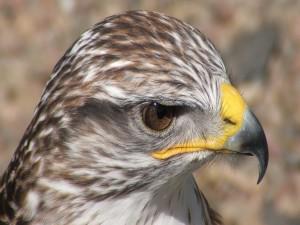 Postal: Cabeza de halcón