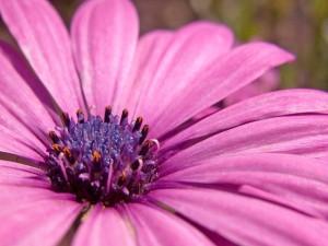 Postal: Una gerbera lila