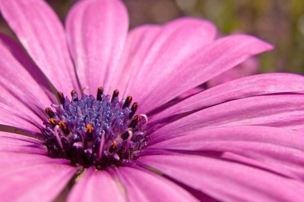Una gerbera lila