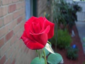 Postal: Una rosa en el jardín
