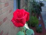 Una rosa en el jardín
