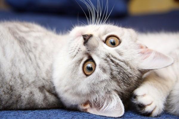 Gato con ojos marrones