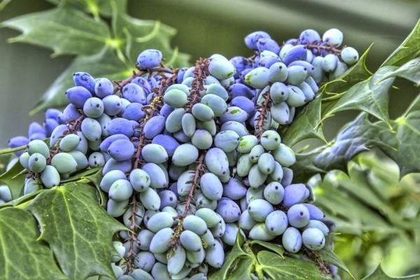 Variedad de uva