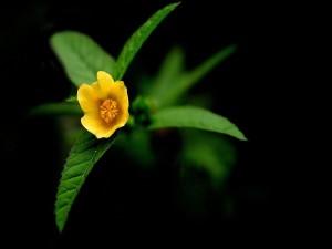 Florecilla amarilla