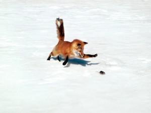 Zorro persiguiendo a un ratón