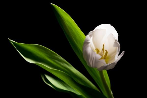 Un tulipán en la oscuridad