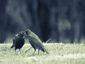 Postal: Amor entre dos pájaros