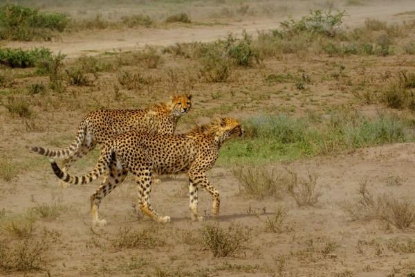 Guepardos caminando muy atentos