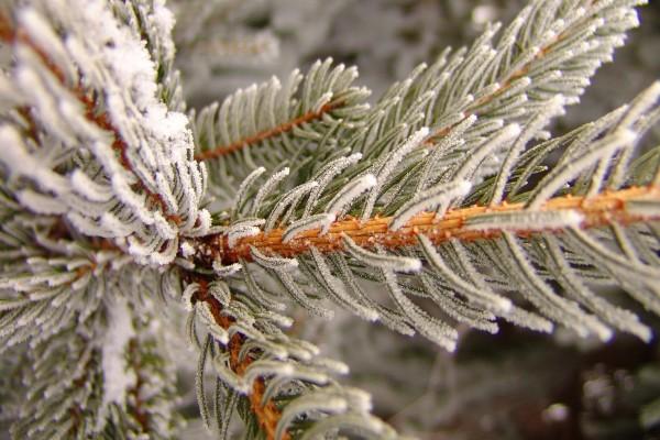Nieve en las agujas de un pino