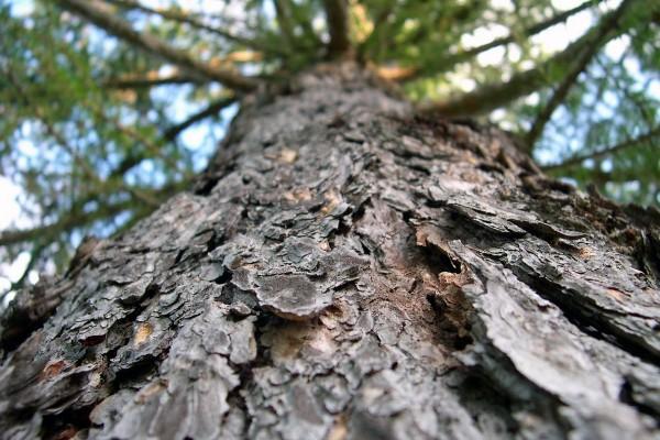 Tronco y corteza de un gran árbol