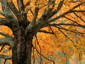 Postal: Arce en otoño