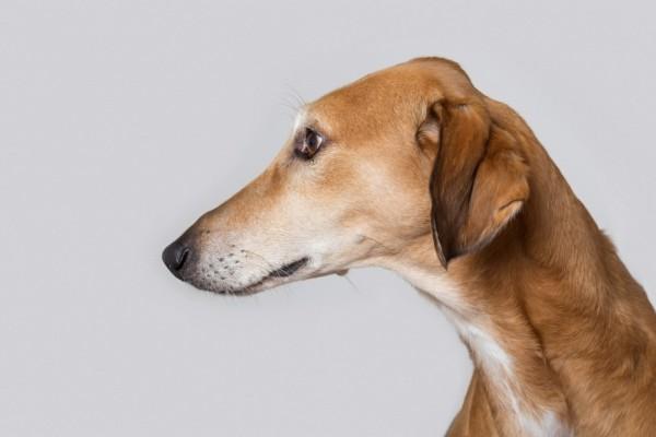 Perro marrón de perfil