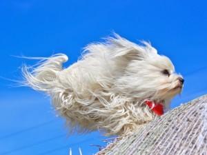 Perrito blanco corriendo