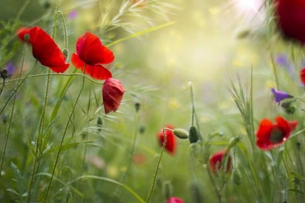 Amapolas entre la hierba