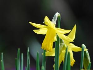 Postal: Narcisos en primavera