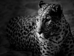 Postal: Leopardo en blanco y negro