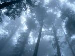 Árboles y niebla