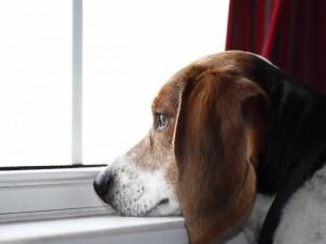 Postal: Un perro mirando por la ventana