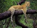 Leopardo sobre una rama gruesa