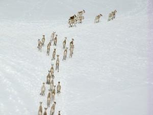 Postal: Grupo de alces en la nieve