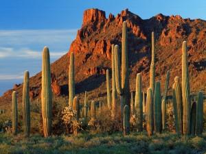 Postal: Grandes cactus en Arizona
