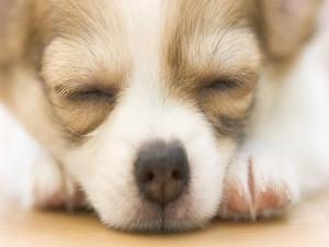 Postal: Perro soñando